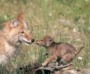 coyote-mom-and-pup