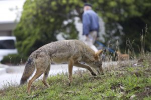 In this Sept. 2009 handout photo provided by Janet Kessler, a coyote is shown on a public street in San Francisco. However you feel about coyotes, they're an increasingly visible fact of life in many San Francisco neighborhoods, often straying beyond protected parkland and out into highly exposed residential areas. Wildlife researchers estimate that about a dozen coyotes live in San Francisco, a city with the second-highest population density in the country that's surrounded on three sides by water. (AP Photo/Janet Kessler) NO SALES MANDATORY CREDIT FOR PHOTOGRAPHER