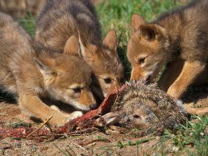 coyote-pups