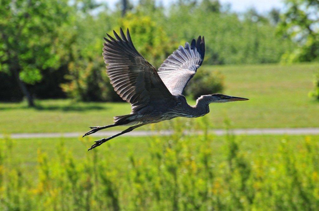 Great-Blue-Heron-kilcona-park-1024x680